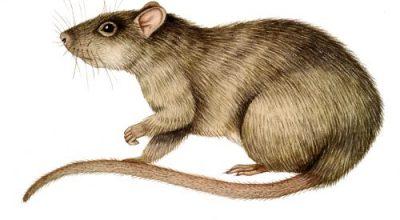 Rattus Norveticus